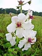 Blattaria Posters - Moth Mullein Wildflowers - Verbascum blattaria Poster by Mother Nature