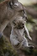 Mother Mountain Lion, Felis Concolor Print by Jim And Jamie Dutcher
