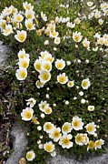 The Burren Prints - Mountain Avens (dryas Octopetala) Print by Bob Gibbons