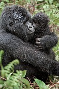 Caring Mother Posters - Mountain Gorilla And Infant Poster by Tony Camacho