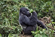 Rwanda Prints - Mountain Gorilla Male Feeding Print by Tony Camacho