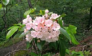 Brittany Perez Metal Prints - Mountain Laurel Full Bloom Metal Print by Brittany Perez