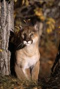 Panthers Prints - Mountain Lion Print by Natural Selection David Ponton