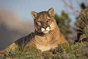 Felidae Photos - Mountain Lion Portrait North America by Tim Fitzharris