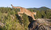 Photography Of Cats Prints - Mountain Lion Puma Concolor Jumping Print by Matthias Breiter