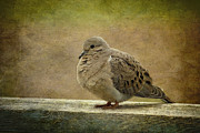 Mourning Dove Posters - Mourning Dove Poster by Cindi Ressler
