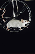 Mouse Art - Mouse In Wheel by David Aubrey