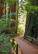 Streaming Light Prints - Muir Woods Print by Patricia Stalter