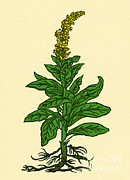 Mullein Plant Prints - Mullein Print by Science Source