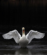Nape Prints - Mute Swan stretching its wings Print by Urban Shootaz