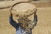 Manual Prints - Myanmar Wheat Harvest Print by Photostock-israel