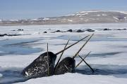 Monoceros Prints - Narwhals Come Up In Seal Holes Print by Paul Nicklen