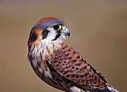 Falcon Metal Prints - Natural Beauty Metal Print by Adele Moscaritolo