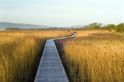 Reed Bed Prints - Nature Reserve Boardwalk Print by Duncan Shaw