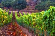 Vineyard Landscape Digital Art Prints - Nearly Harvest Print by Patricia Stalter