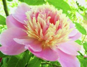 Flower Gardens Photo Prints - Nebraska City Peony Print by Christine Belt