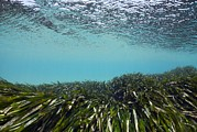 Murcia Photos - Neptune Grass (posidonia Oceanica) by Angel Fitor