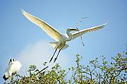 Great Egret Posters - Nest Building Poster by Kenneth Albin