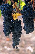 Wine Grapes Prints - New grapes Print by Gary Brandes
