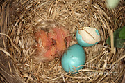 American Robin Photos - Newborn Robin Nestlings by Ted Kinsman