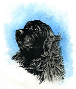 Newfoundland Art Paintings - Newfoundland Headstudy by Patrice Clarkson