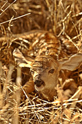 New World Photos - Newly born fawn hiding in a Saskatchewan field by Mark Duffy