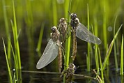 Dragonflies Art - Newly-emerged Dragonflies by Bob Gibbons