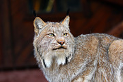 Bobcats Framed Prints - North American Lynx Framed Print by Paul Fell