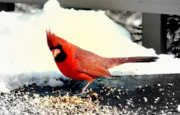 Morning Digital Art Originals - Northern Cardinal by Adam Shevron