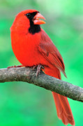 Male Northern Cardinal Posters - Northern Cardinal Poster by Thomas R Fletcher