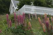 Picket Fence Posters - Norway, Hidra, Lupins And Lilies Poster by Keenpress