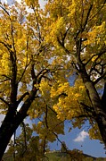 Romania Photos - Norway Maples (acer Platanoides) by Bob Gibbons