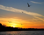 Flying Seagull Prints - November Sunset Print by Robert Harmon