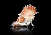 Marine Mollusc Metal Prints - Nudibranch Metal Print by Alexander Semenov