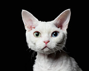 Attitude Photos - Odd-eyed Cat,devon Rex by Ultra.f