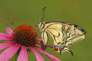 Papilionidae Prints - Oldworld Swallowtail Papilio Machaon Print by Silvia Reiche