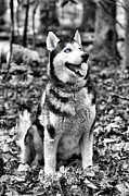 Husky Photo Prints - Ole Blue Eyes Print by JC Findley