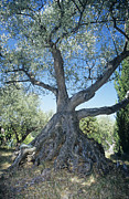 Olives Photo Posters - Olive Tree Poster by Dirk Wiersma