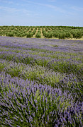 Olive Photos - Olive trees. Provence by Bernard Jaubert