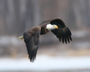 Eagles In Flight Prints - On the Hunt Print by Gerry Sibell