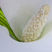 Calla Detail Framed Prints - Open white calla lily V Framed Print by Heiko Koehrer-Wagner
