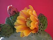 Cacti Metal Prints - Orange Cactus Blossom  Metal Print by Aleksandra Buha