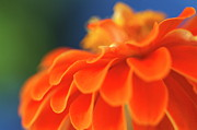 Zinnia Elegans Framed Prints - Orange common zinnia Framed Print by Sami Sarkis