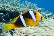 Dave Fleetham Posters - Orange Fin Anemonefish Poster by Dave Fleetham - Printscapes