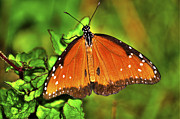 Insects Photo Originals - Orange Flutterby by Randy Aveille
