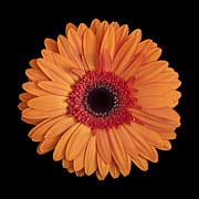 Gerbera Art - Orange Gerbera Daisy on Black by Zoe Ferrie