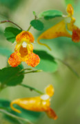 Impatiens Flowers Photos - Orange Jewelweed by Michael Peychich