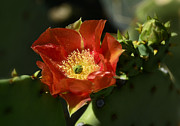 Orange Prickly Pear Blossom  Print by Saija  Lehtonen