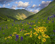 Larkspur Photos - Orange Sneezeweed And Delphinium by Tim Fitzharris