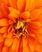 Zinna Framed Prints - Orange Splendor Framed Print by Bruce Bley